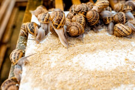 Lots of snails on a special shelves with feed on a farm for snails growing, close-up view Stock Photo
