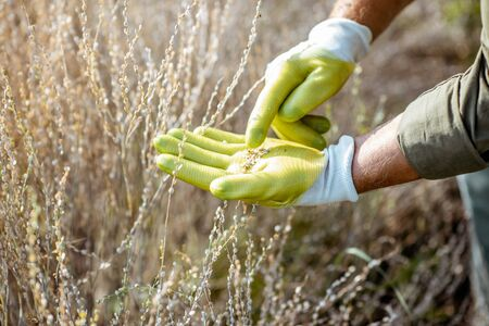 Man collecting watercress seeds, holding seeds on the hand in protective gloves, close-up