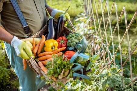 Man holding basket full of freshly picked up vegetables in the garden, close-up Stockfoto