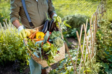 Man holding basket full of freshly picked up vegetables in the garden, close-up 写真素材