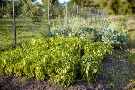 Organic home vegetable garden with pepper bed on a sunny evening