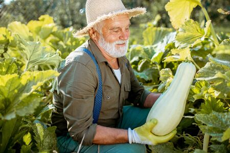 Senior well-dressed agronomist picking up zucchini on an organic garden during a sunny weather. Concept of growing organic products and active retirement