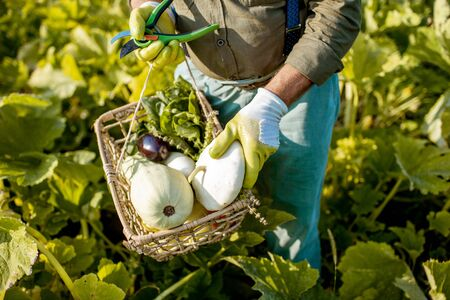 Man holding basket with freshly picked up vegetables on the garden, close-up view. Concept of organic growing of local vegetables