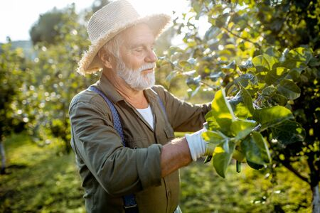 Senior well-dressed man as a gardener pruning branches of a fruit trees in the apple orchard. Concept of a fruit gardening on retirement age