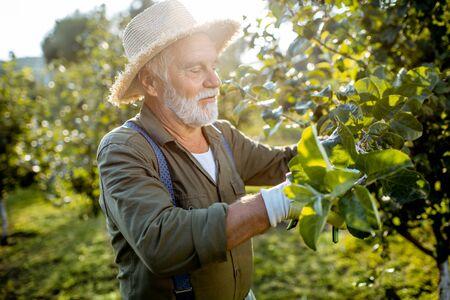 Uomo ben vestito anziano come giardiniere che pota i rami di alberi da frutto nel meleto. Concetto di frutteto in età pensionabile