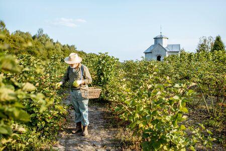 Senior, gut gekleideter Mann als Gärtner, der während des sonnigen Abends Brombeeren auf der schönen Plantage sammelt. Konzept einer kleinen Gartenarbeit und wachsenden Beeren