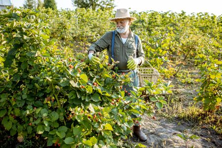 Senior well-dressed man as a gardener collecting blackberries on the beautiful plantation during the sunny evening. Concept of a small gardening and growing berries