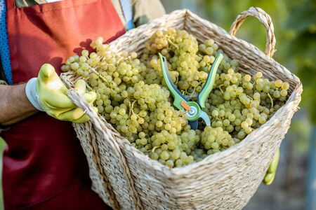 Man holding basket full of freshly picked up wine grapes on the vineyard, close-up 写真素材