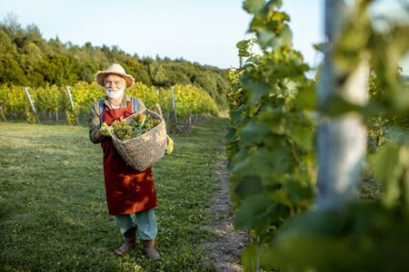 Senior well-dressed winemaker walking with basket full of freshly picked up wine grapes, harvesting on the vineyard during a sunny evening 免版税图像
