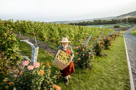 Senior winemaker walking with basket full of grapes between rows of vineyard, harvesting fresh crop. Landscape view from above