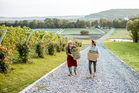 Senior man with young woman carrying baskets full of freshly picked up wine grapes on the vineyard, wide landscape view. Family business concept Stock Photo
