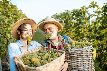 Funny portrait of a cheerful senior man with young woman eating freshly picked up wine grapes on the vineyard. Family business concept