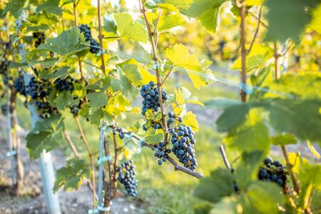 Grapes growing on the vineyard, close-up view