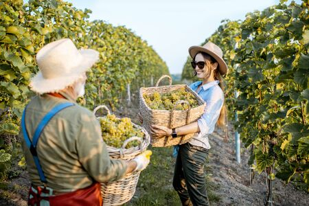 Senior man with young woman carrying baskets full of freshly picked up wine grapes on the vineyard, harvesting fresh crop on a sunny evening. Family business concept