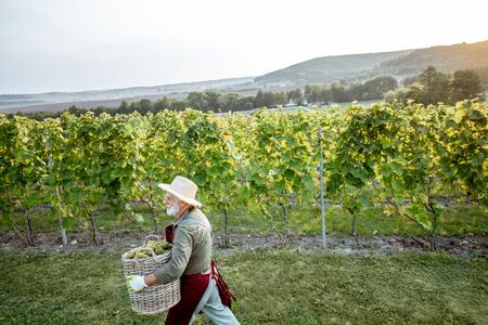 Senior well-dressed winemaker walking with basket full of freshly picked up wine grapes, harvesting on the vineyard during a sunny evening. Landscape view from above