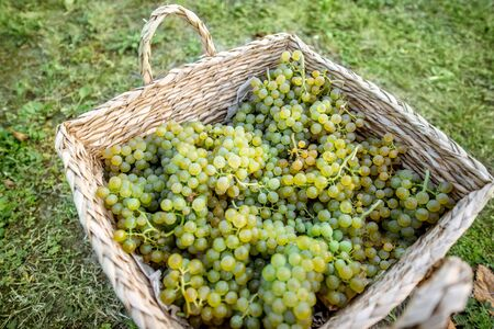 Wicker basket full of freshly picked up white grapes on the grass, harvesting fresh crop on the vineyard