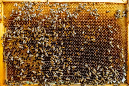 Close-up of a honeycomb frame with lots of bees on the apiary