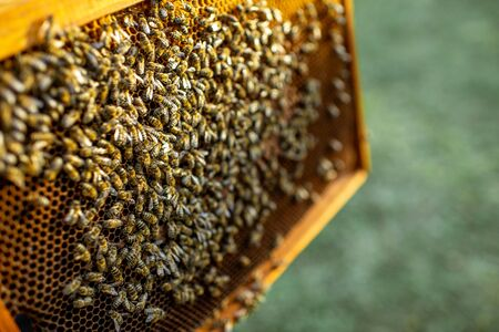 Close-up of a honeycomb frame with lots of bees on the apiary Banque d'images - 129738144