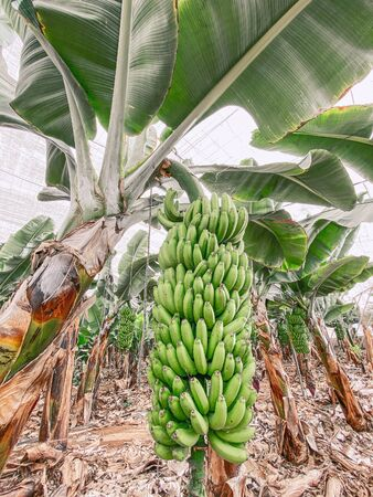 Beautiful banana plantation with rich harvest ready to pick up. Image made on mobile phone