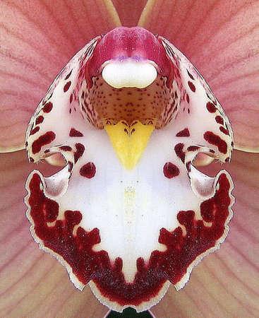 Cymbidium orchid photo