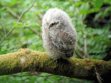 tawny: Baby Tawny Owl Stock Photo