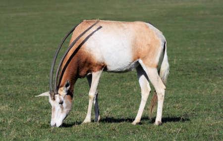 scimitar: Scimitar-horned oryx Stock Photo