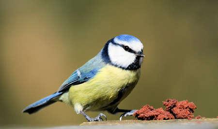 Blue tit bird photo