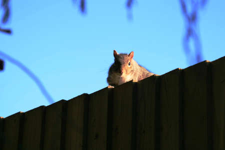 Squirrel peeing over top of fence photo