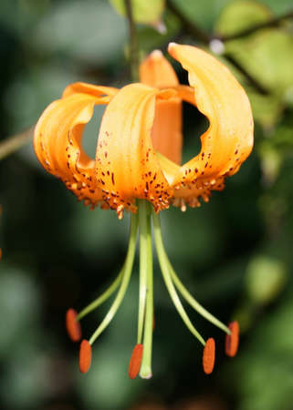 oranje lelie: Oranje lelie bloem met stuifmeel