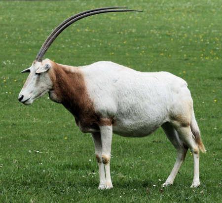 oryx: Scimitar horned oryx
