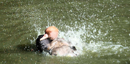 crested duck: Red crested pochard Stock Photo
