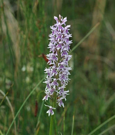 fragrant: Fragrant orchid in a field