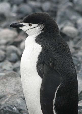 Chinstrap penguin  photo