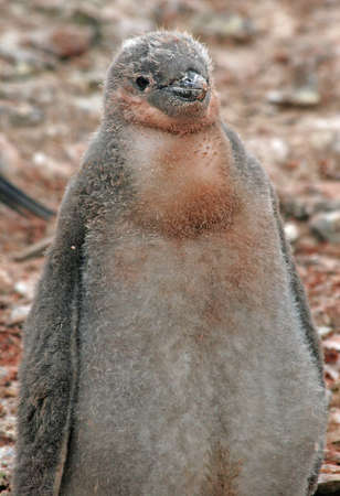 Chinstrap penguin chick  photo