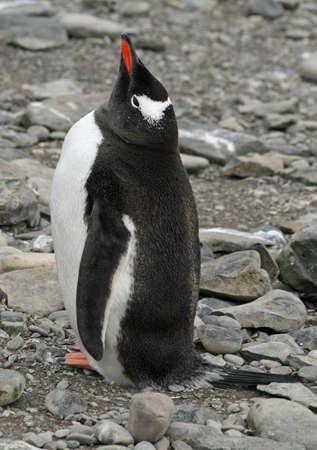gentoo: Pinguino gentoo  Archivio Fotografico
