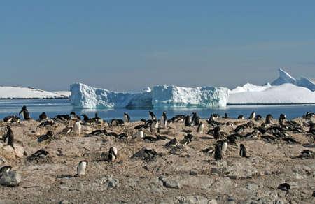 pinguinera: Colonia de ping�inos gentoo Foto de archivo