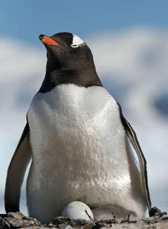 gentoo: Pinguino gentoo 34 Archivio Fotografico