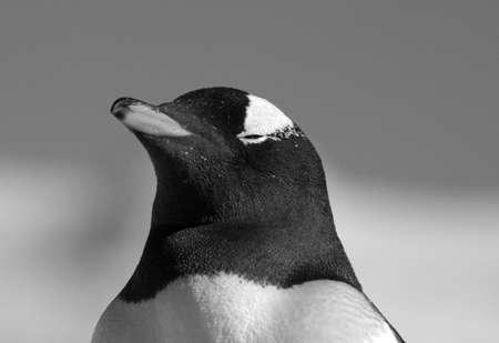 gentoo: Gentoo penguin   Stock Photo