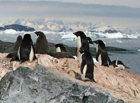 pinguinera: Colonia de ping�inos de Adelia