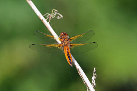 chaser: Scarce Chaser Dragonfly 2