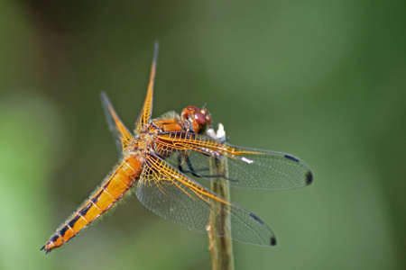 chaser: Scarce Chaser Dragonfly 3
