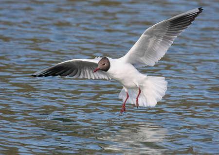 headed: Black Headed Gull landing on water