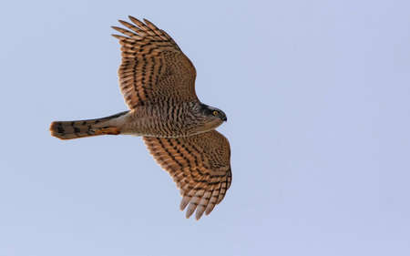 Sparrowhawk bird flying in the sky photo