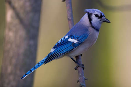 bluejay: Blue Jay perched on a branch - Cyanocitta cristata