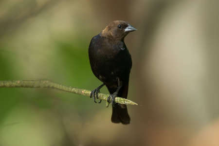 headed: Brown Headed Cowbird perched on a branch - Molothrus ater Stock Photo