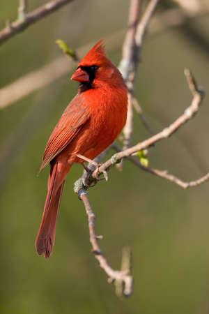 Northern Cardinal - male - Cardinalis cardinalis