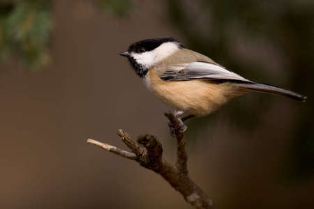 Black Capped Chickadee perched on a branch - Poecile atricapilla Imagens