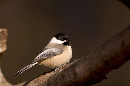 Black Capped Chickadee in profile on a branch - Poecile atricapilla