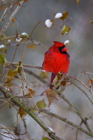 snow cardinal: Northern Cardinal in Winter with snow covered leaves Stock Photo