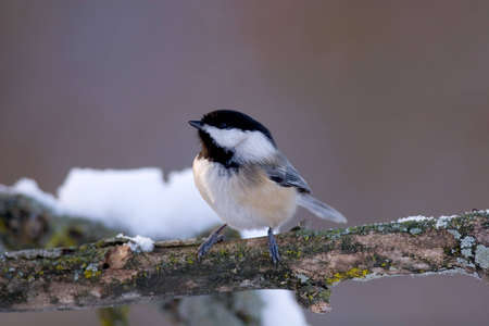 capped: Black Capped Chickadee - Poecile atricapilla in winter Stock Photo